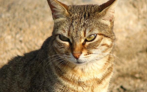 Фото обои кошка, animals, cat