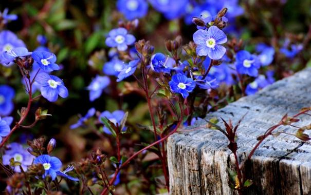Фото обои макро, цветочки, голубенькие