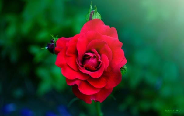 Фото обои цветок, капли, роза, лепестки, MAKUSIMU