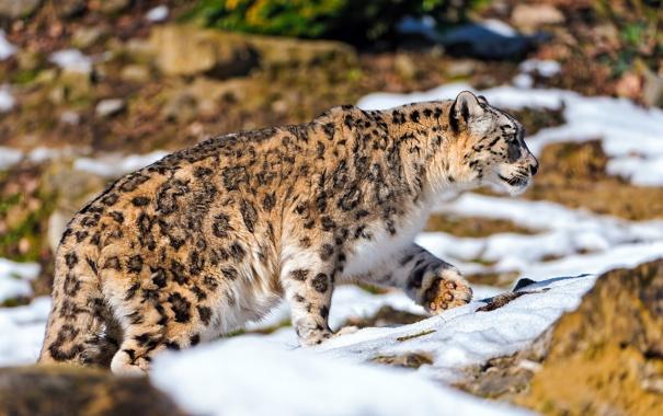 Фото обои снег, камни, охота, Снежный барс, ирбис, идёт