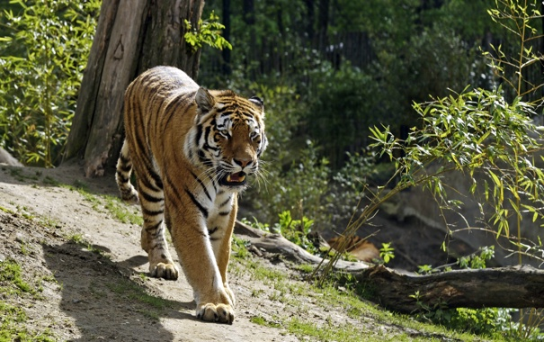Фото обои кошка, солнце, тигр, тень, ветка, прогулка, бревно