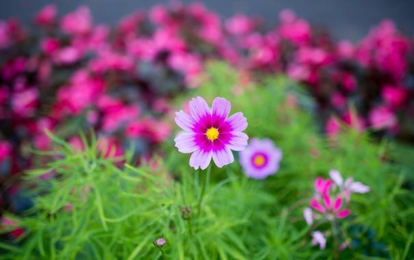 Фото обои розовый, земля, Цветок