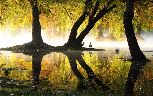 Фото обои пруд, отражение, утки, озеро, парк