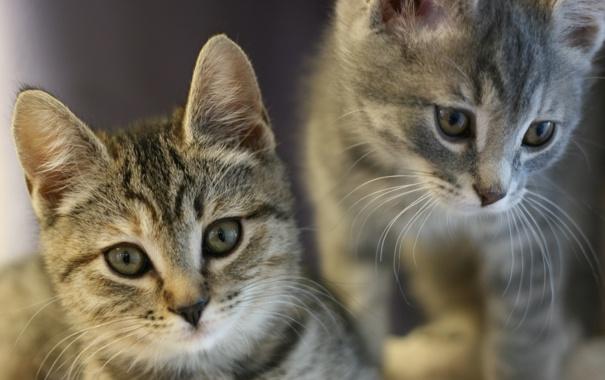 Фото обои животные, усы, взгляд, котята, ушки