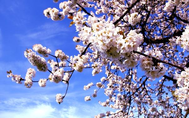 Фото обои макро, цветы, природа, вишня, дерево, ветка, весна