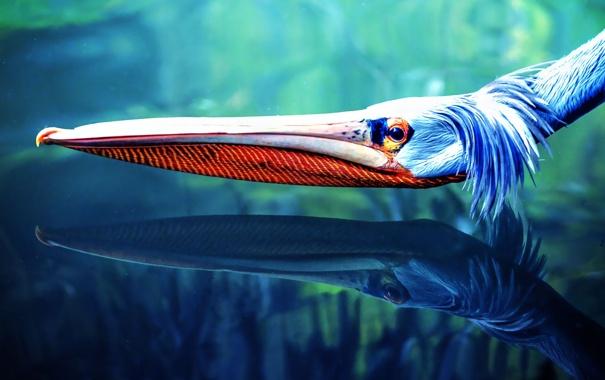 Фото обои голова, pelicano, пелекан