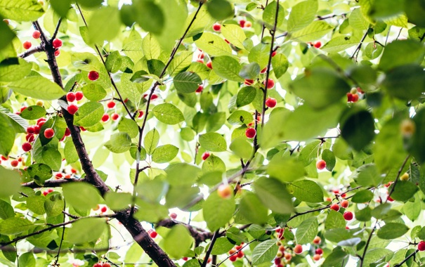 Фото обои green, trees, nature, leaves, berries, branches