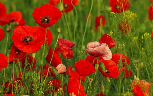 Фото обои трава, цветы, маки