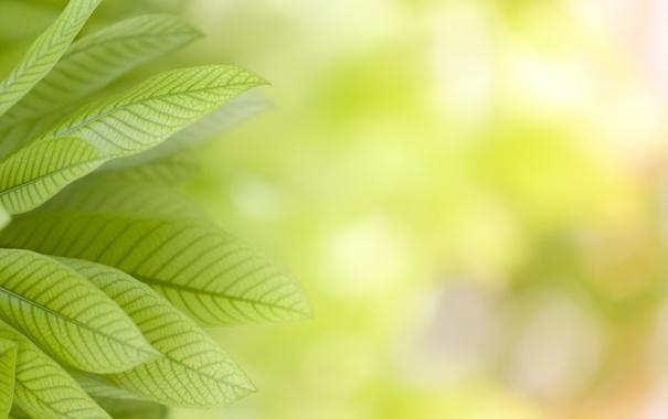 Фото обои природа, растения, листики