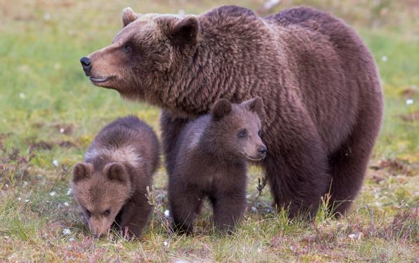 Фото обои трава, природа, семя, медвежата, медведица