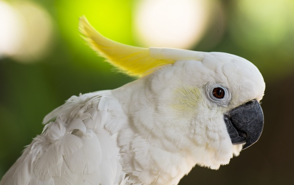 Фото обои птица, попугай, хохолок, Большой желтохохлый какаду, какаду