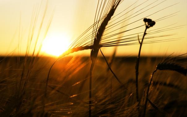 Фото обои пшеница, солнце, лучи, закат, Макро