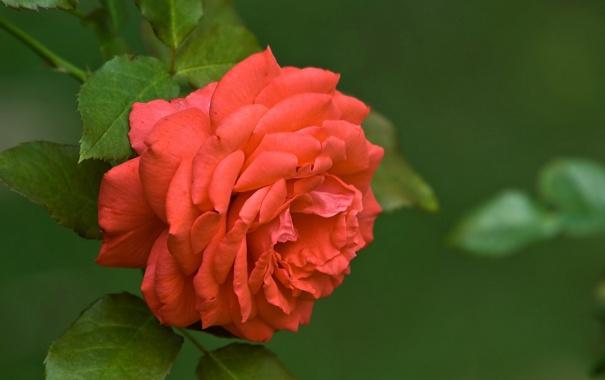 Фото обои цветок, листья, макро, природа, зеленый, роза, цвет