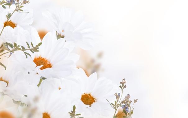 Фото обои цветы, flowers, листики, leaves, white chrysanthemum, белые-хризантемы