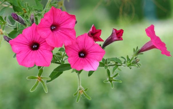 Фото обои листья, цветы, природа, лепестки, петуния
