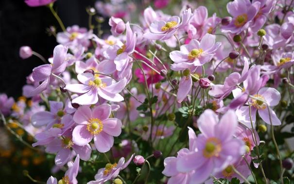 Фото обои цветы, розовые, солнечно, анемоны, anemone