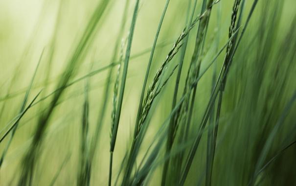 Фото обои зелень, лето, трава, макро, природа, фото, фон