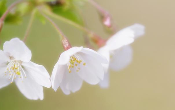 Фото обои зелень, природа, веточка, весна, лепестки, белые, цветение