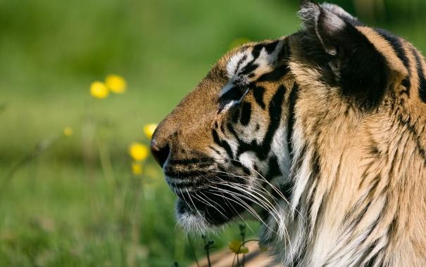 Фото обои морда, тигр, хищник, профиль