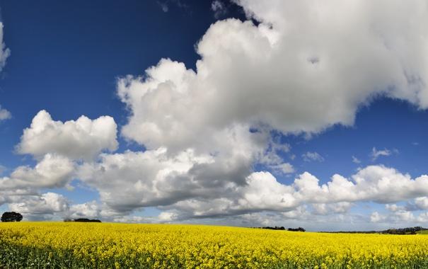 Фото обои поле, небо, цветы, желтый
