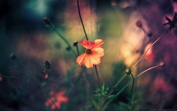 Фото обои цветок, красный, роса