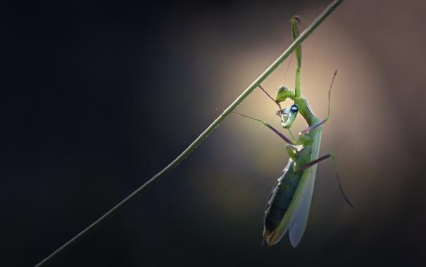 Фото обои растение, богомол, насекомое, травинка