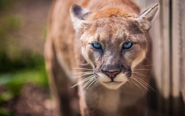 Фото обои взгляд, пума, дикая кошка, горный лев, кугуар