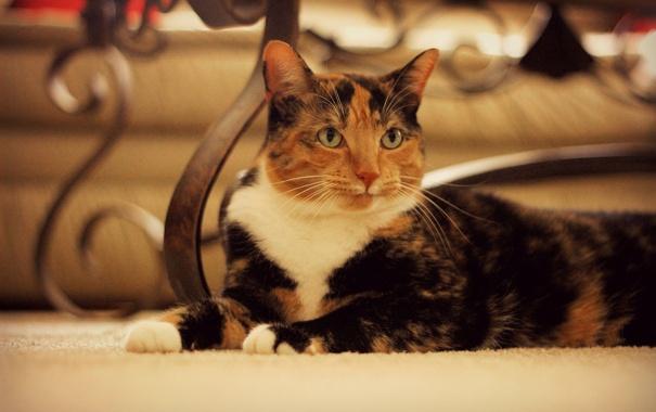 Фото обои кошка, взгляд, лежит, трехцветная, пятнистая