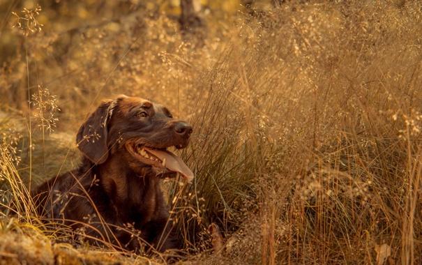 Фото обои взгляд, друг, собака, лабрадор