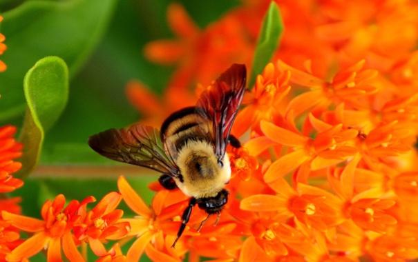 Фото обои цветы, нектар, пчела, собирает