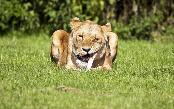 Фото обои природа, лев, кость