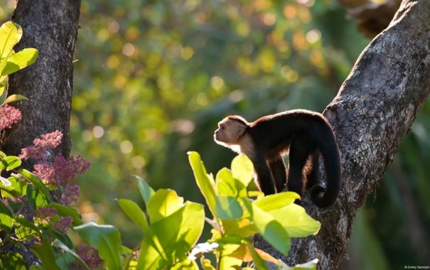 Фото обои деревья, обезьяна, MonkeyCostaRica