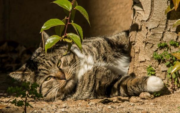 Фото обои кот, кошак, лежит, котяра