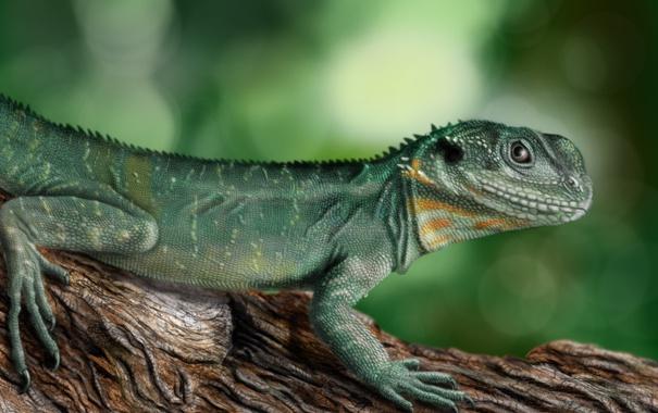 Фото обои green, ящерка, physignathus lesueurii