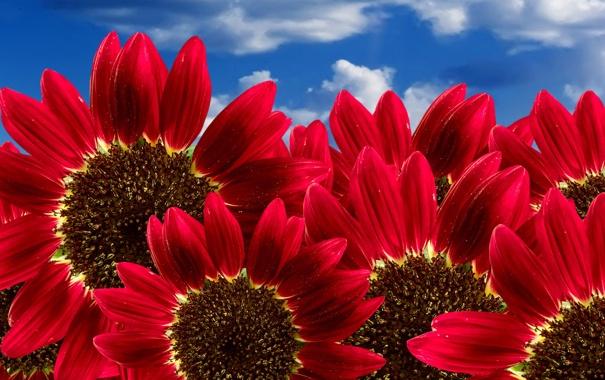 Фото обои небо, красные, Подсолнух