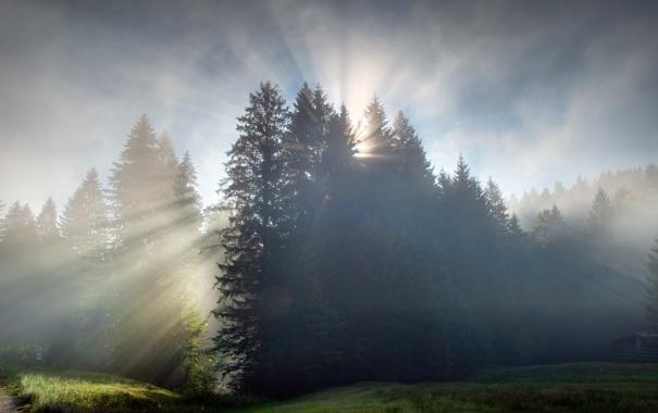 Фото обои лес, рассвет, утро, лучи солнца