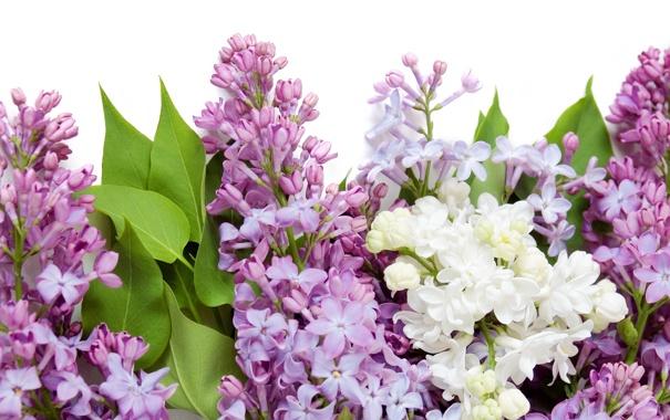Фото обои цветы, весна, белая, white, фиолетовая, flowers, сирень