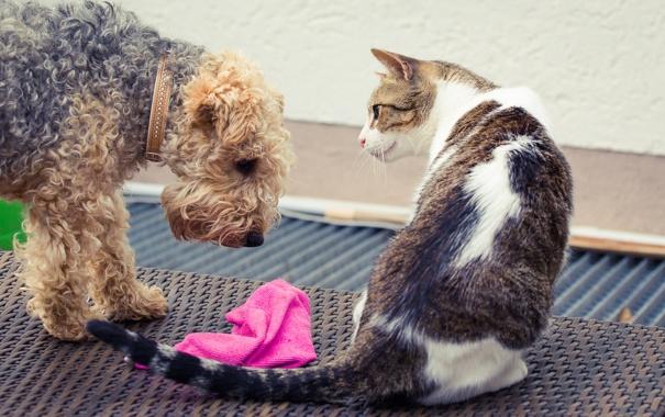 Фото обои кошка, взгляд, собака