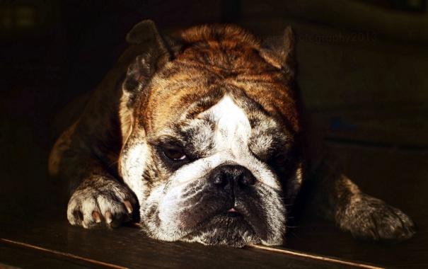 Фото обои взгляд, друг, собака, Bulldog