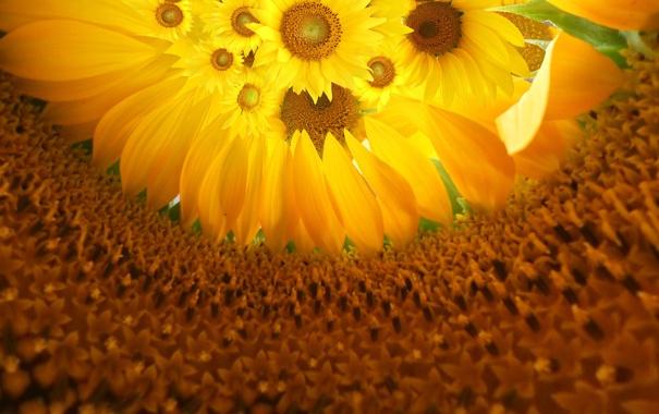 Фото обои цветы, Подсолнухи, середина