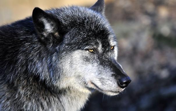 Фото обои взгляд, морда, серый, волк, хищник