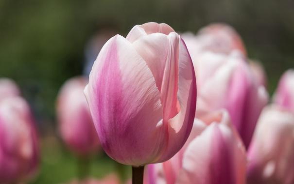 Фото обои розовый, тюльпан, фокус, Эприкот Гиант