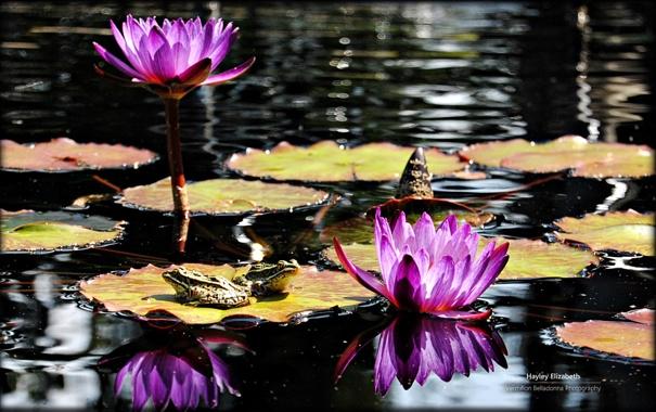 Фото обои Water, Wallpaper, Purple Flowers, Frogs, Lily Pads
