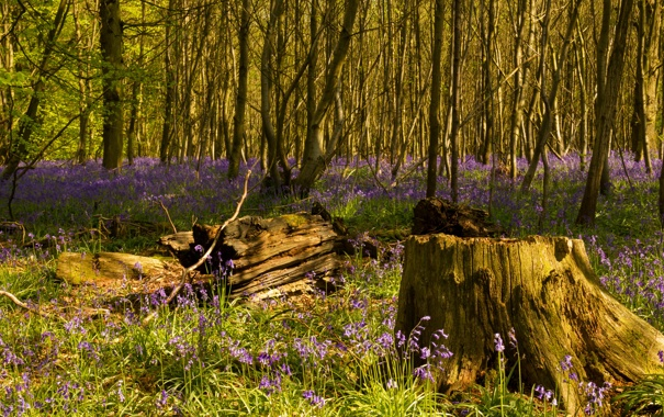 Фото обои лес, трава, деревья, цветы, пень, весна, колокольчики