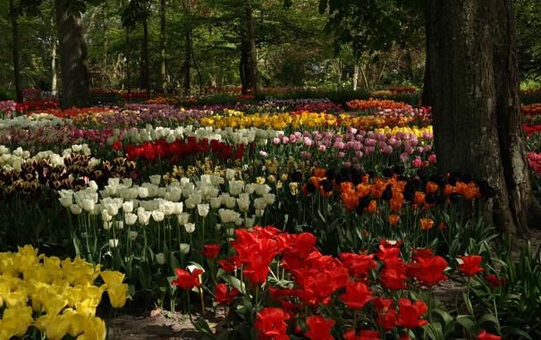 Фото обои деревья, цветы, парк, тюльпаны, клумба