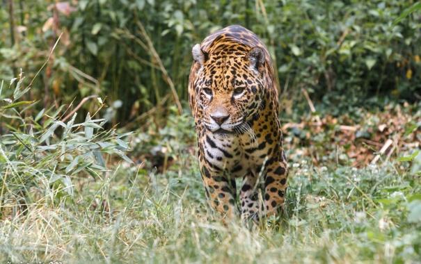 Фото обои заросли, хищник, ягуар, прогулка, дикая кошка, зоопарк