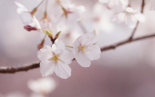 Фото обои макро, цветы, веточка, нежность, весна, лепестки, сакура
