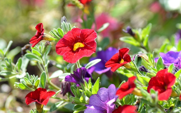 Фото обои сад, листья, лепестки, петуния