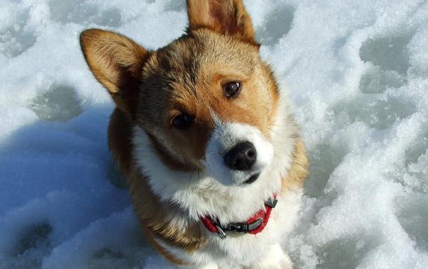 Фото обои снег, собака, забавная