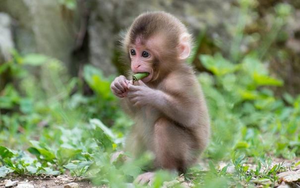 Фото обои трава, малыш, обезьяна, детеныш